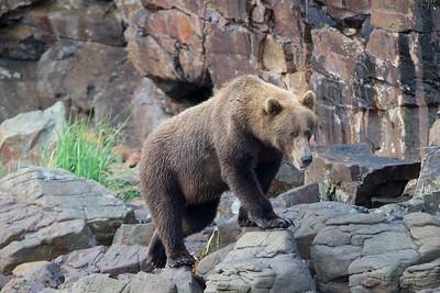 A Coastal Brown Bear strolls along the coastline of Kukak Bay outside of Katmai National Park, Alaska
