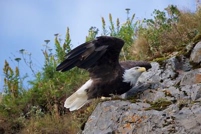 Bald Eagle a second before take off - Katmai National Park, Alaska