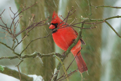 Male Cardinal - Blizzard of 2016