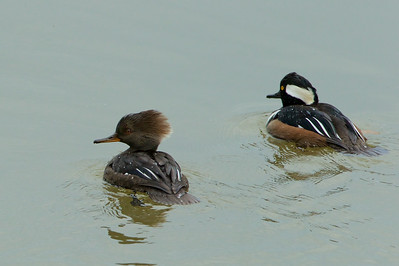 Female Hooded Merganser (left) with her mate