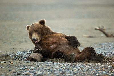 After digging out the sand next to a log,  this dedicated female bear is ready to nurse her young.