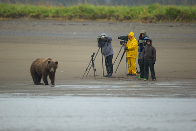 After finishing her first snack, this Coastal Brown Bear ponders who tastes better; Nikon or Canon photographers?