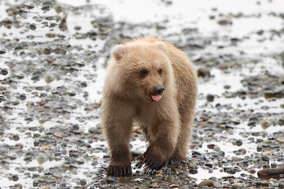 Proud of his scavenging skills, this baby male cub licks his lips!