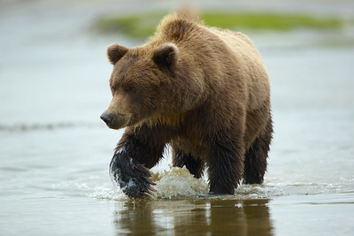 Coastal Brown Bear, female, Lake Clark National Park, AK.