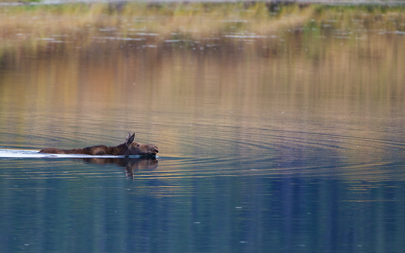 Cow moose crossing Snake River, Oxbow Bend - Grand Teton Park, Wyoming