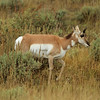 Buck Pronghorn Sheep at Gros Ventre, Grand Teton National Park, WY