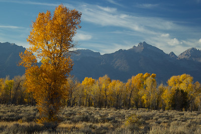Aspen trees turning in Jackson Hole.