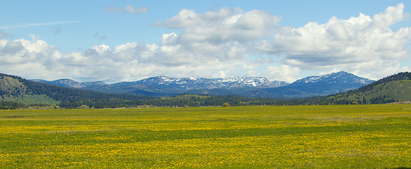 Field of gold - Grand Teton National Park, WY