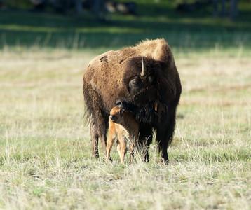 Bison mother licks her baby