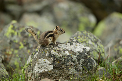 Golden Mantled Ground Squirrel, Yellowstone National Park.