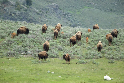 Bison on the move - Yellowstone