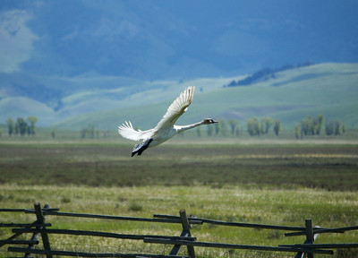 Trumpeter Swan, Jackson Hole, WY