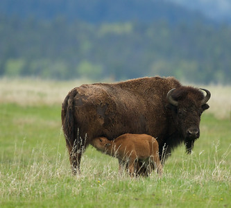 A Bison cow feeding her young, Grand Teton National Park, WY