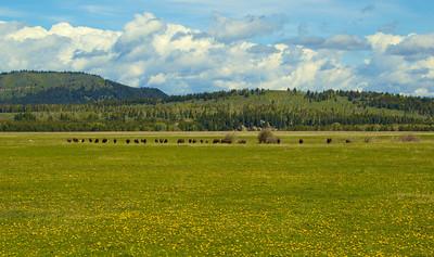 Bison and Pronghorn eating dandelion flowers, Grand Teton National Park, WY