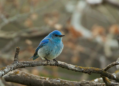 Mountain Blue Bird, Grand Teton National Park, WY