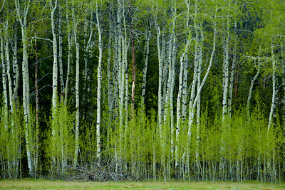 Aspen Grove - Pilgrim Creek, Grand Teton National Park, WY