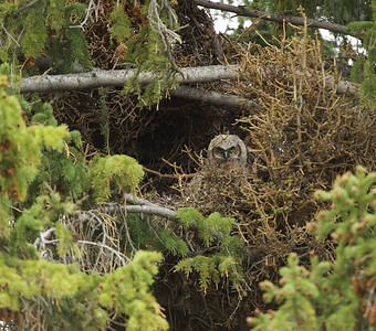 Great Gray Owl baby