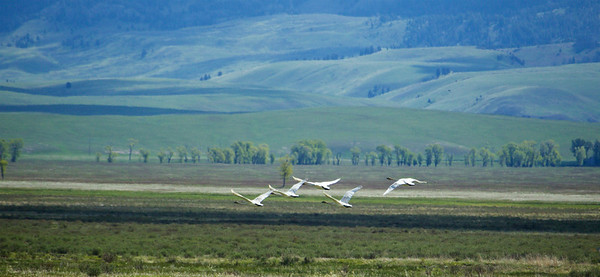 Trumpeter Swans, Jackson Hole, WY