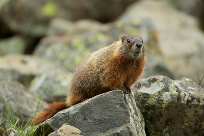 Red Bellied Marmot - Sheepeater Cliffs, Yellowstone National Park, WY