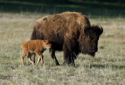 Baby Bison follows his mother in Yellowstone National Park