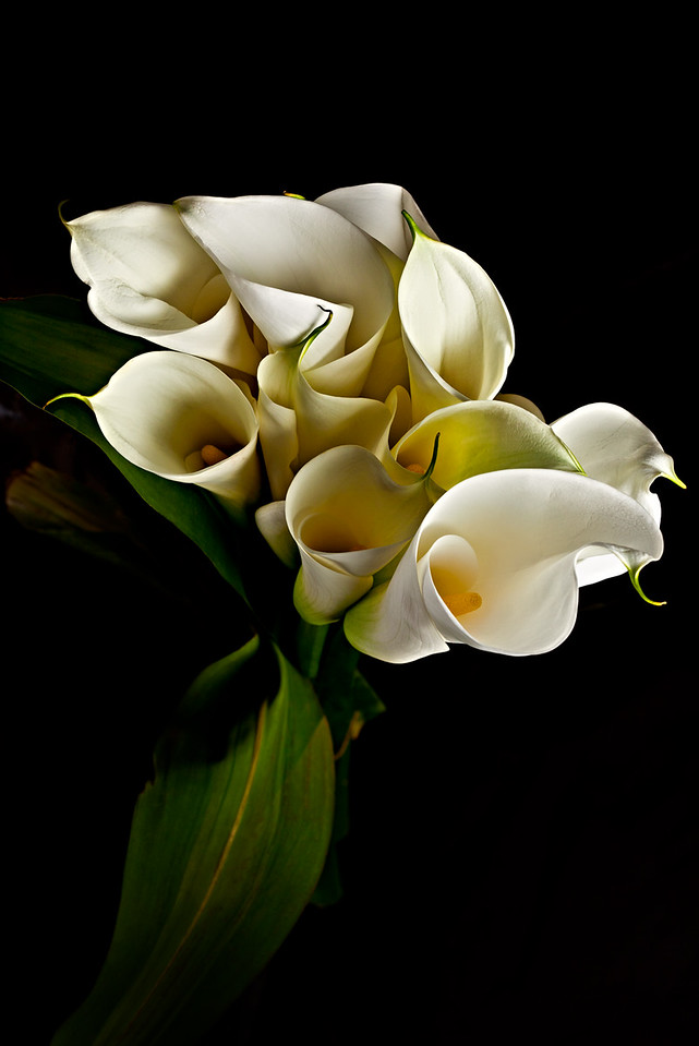 3) Calla Lily 3 For WEB