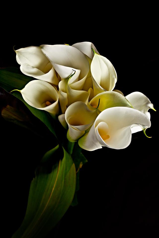 3) Calla Lily 3 For WEB