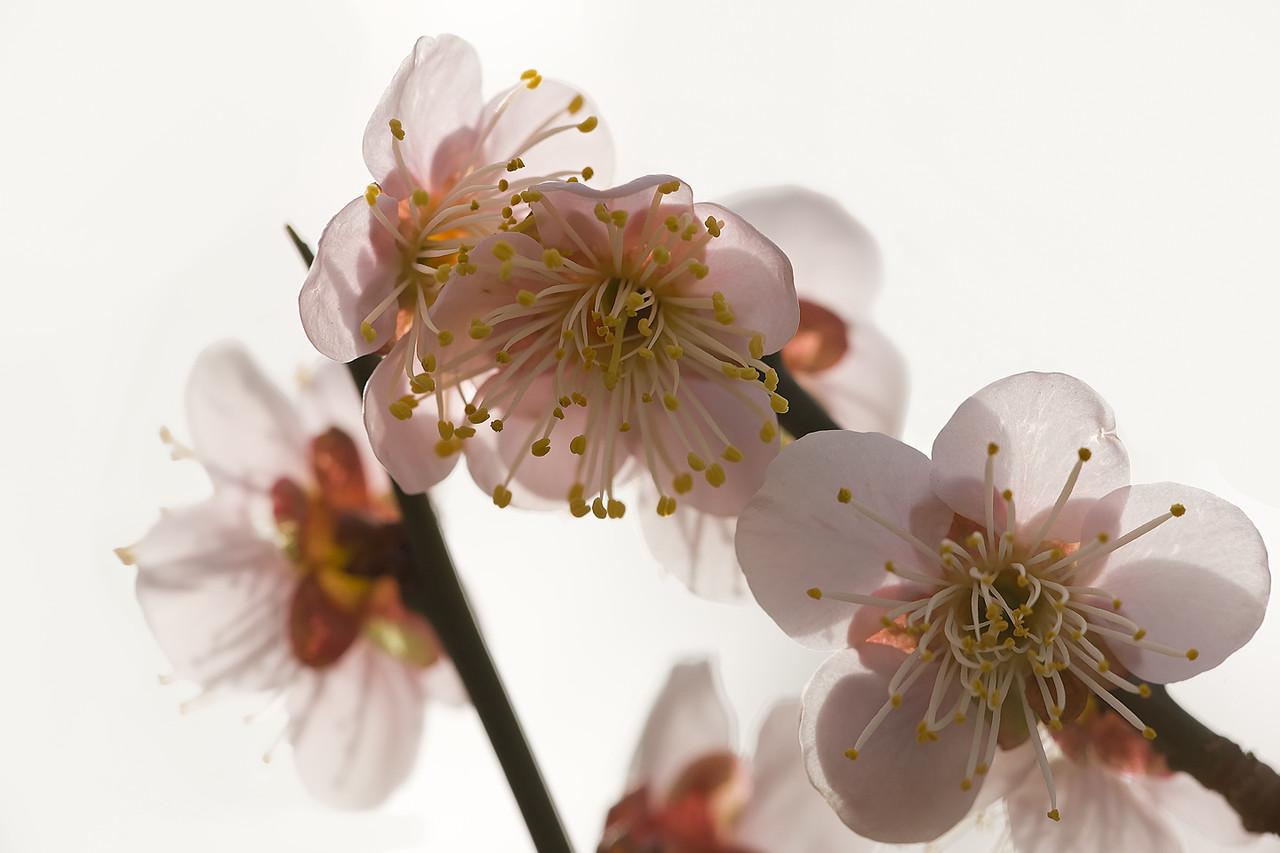 4) White Plum