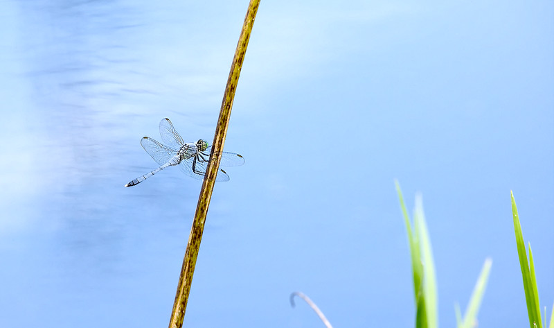 12) Dragon Fly Stick