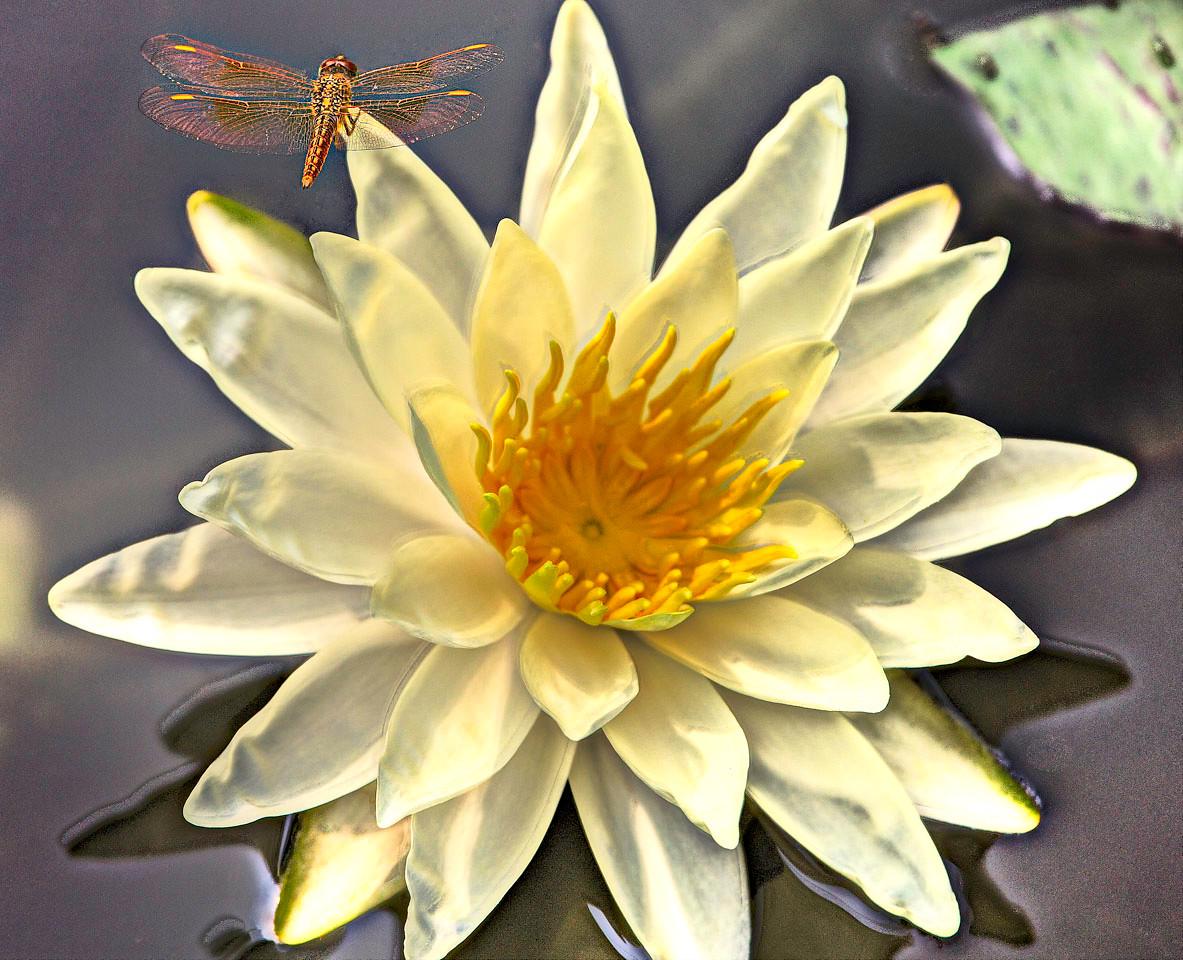 11) HD Contest Lotus and Dragon