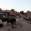 COWS AND MARKET. CENTRE OF JODHPUR. RAJASTAN. INDIA.