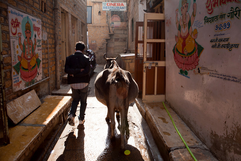 JAISALMER. RAJASTHAN. A BOY AND A COW IN THE STREETS OF THE OLD TOWN.