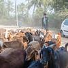 Shepherd with his goats in Hampi, Karnataka, South India, Asia