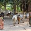 Shepherds with their cows in Hampi, Karnataka, South India, Asia