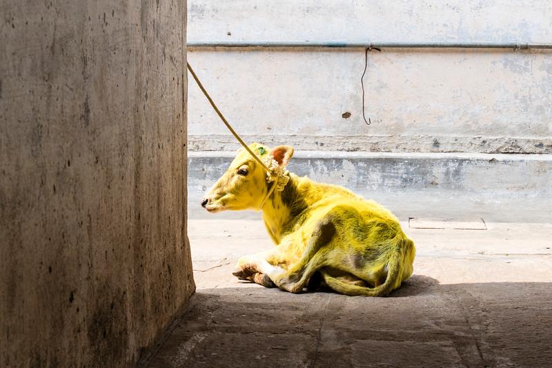 MYSORE. KARNATAKA. YELLOW COW.