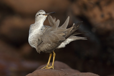Grey-tailed Tattler (Tringa brevipes) in breeding plumage having a preen