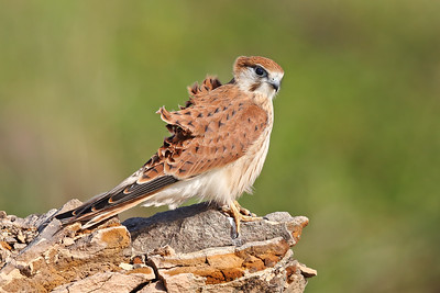 Nankeen Kestrel (Falco cenchroides) female adult