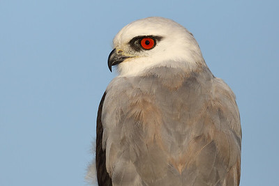 Black-shouldered Kite (Elanus axillaris) adult hunting
