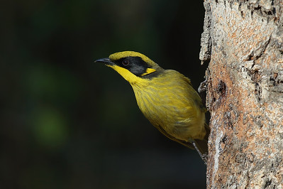 Yellow Tufted Honeyeater (Lichenostomus melanops) adult