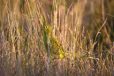 Eastern Ground Parrot (Pezoporus wallicus) adult