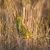 Eastern Ground Parrot (Pezoporus wallicus) adult