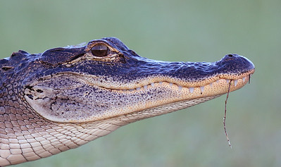 American Alligator (Alligator mississippiensis) portrait
