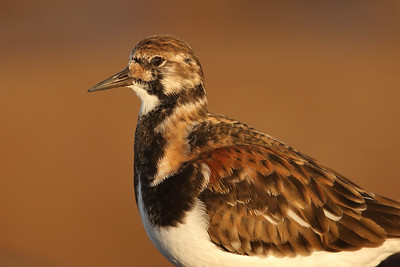 Ruddy Turnstone (Arenaria interpres) adult in breeding plumage