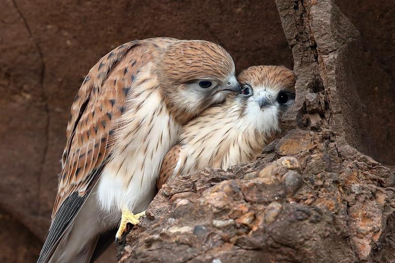 Nankeen Kestrel (Falco cenchroides) siblings