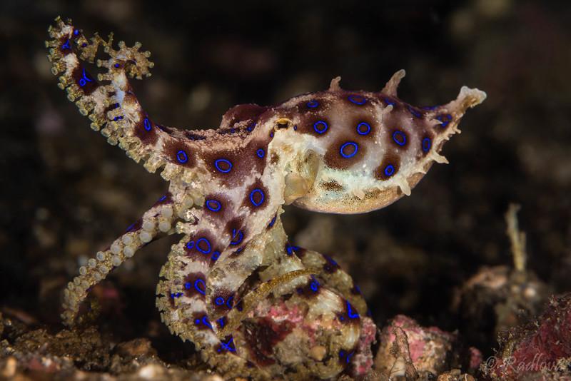 Blue-Ringed Octopus <i>(Hapalochlaena spp.)<i></i></i>