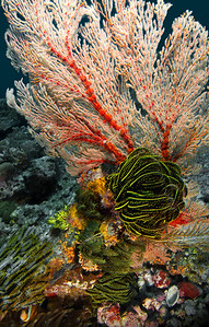 Feather Star on Coral - Indonesia  Feather stars have feet - and at night, they walk. The undersea world is a strange place, where plants walk, fish eat rock, and algae radiate light at night.