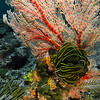 Feather Star on Coral - Indonesia<br /> <br /> Feather stars have feet - and at night, they walk. The undersea world is a strange place, where plants walk, fish eat rock, and algae radiate light at night.