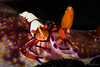 Emperor Shrimp <i>(Periclimenes imperator)<i> on a Nudibranch</i></i>