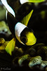 Saddleback Anemonefsh <i>(Amphiprion polymnus)<i></i></i>