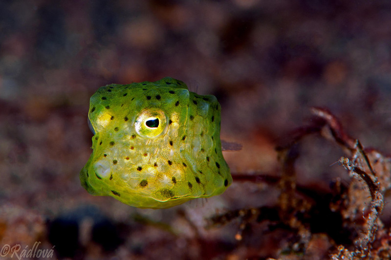 Yellow Boxfish <i>(Ostracion cubicus)<i/>