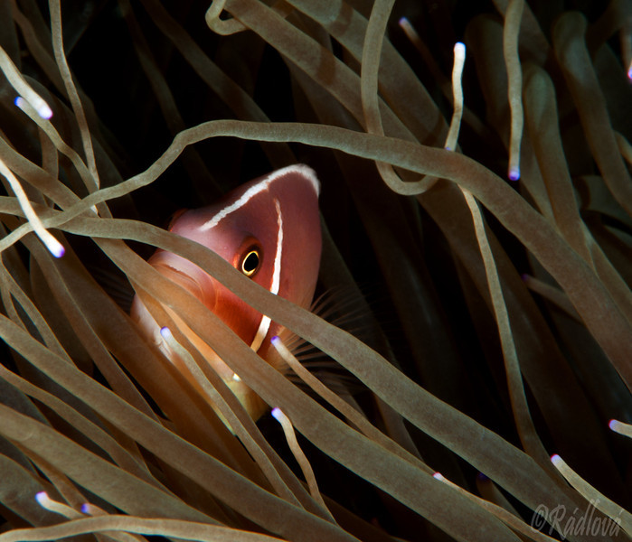 Pink Anemonefish <I>(Amphiprion perideraion)<I/>